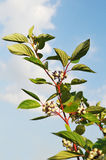 Branch with white berries Stock Photography
