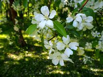 Branch of white blooming apple tree stock image