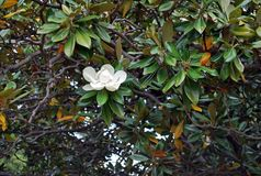 A branch with a white blooming flower of ficus macrophylla. Also known as fig tree Royalty Free Stock Photography