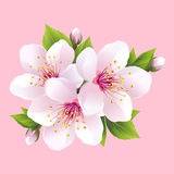 Branch of white blossoming sakura - japanese cherry tree. Beautiful pink cherry blossom,  on pink background. Stylish floral spring wallpaper. Vector Stock Photos