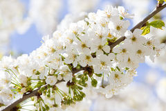 Branch with white cherry blossom in spring Royalty Free Stock Photography