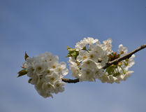 Branch with white cherry blossoms Stock Photography