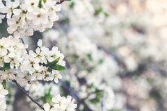 Branch of white cherry blossoms Royalty Free Stock Image
