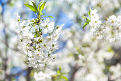 Branch of white cherry blossoms and young green leaves Stock Photos