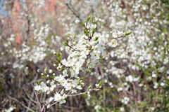Branch with white cherry flowers and fresh leaves Stock Photo