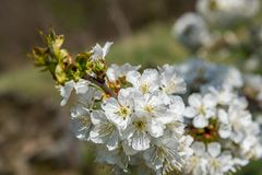 Branch of white cherry flowers in spring Royalty Free Stock Images
