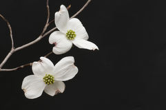 Branch of white dogwood blossoms Stock Images