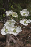 Branch of White Dogwood Tree Flowers Stock Photos