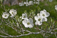 Branch of White Dogwood Tree Flowers Stock Photography