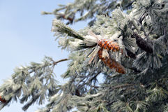 Branch of White Fir with Cones in Frost. Ice Covered Branch of White Fir with Cones Royalty Free Stock Photo