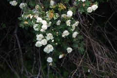Branch of fluffy wild roses at evening dusk. Branch of white-flowered fluffy wild roses and bare old branches at evening twilight Royalty Free Stock Images