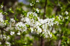 A branch of a white flowering Apple tree on a background of green foliage. Close up. Flowering garden trees in the spring. A branch of a white flowering Apple royalty free stock images