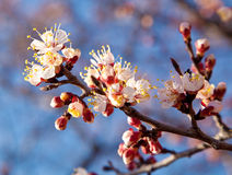 Branch of a white flowering apricots Stock Image