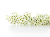 Branch with white flowers. Isolated stock photography