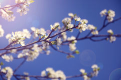 Branch with white flowers against the sky Royalty Free Stock Photo