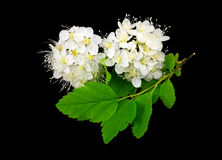 Branch of white flowers on black. Stock Photos