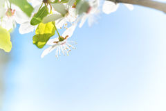 Branch with white flowers on a blossom cherry tree. Soft background of green spring leaves and blue sky Royalty Free Stock Photos