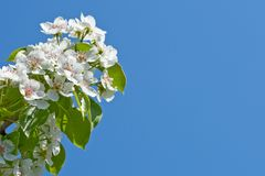 Branch with white flowers on blue sky Royalty Free Stock Photos