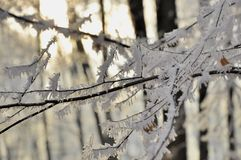 Branch with white frost in the forest Stock Image