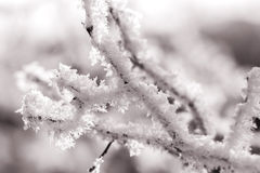 Branch with white frost, sepia Stock Photography