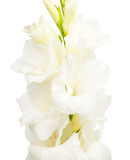 Branch of white gladiolus Royalty Free Stock Image