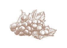Branch of white grape with leaves Stock Images