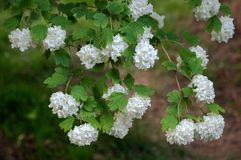 Hydrangea. A branch of white Hydrangeas blossom in spring royalty free stock photos