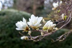 A branch of white Japanese magnolia Kobus in bloom against a dark background.  royalty free stock photos