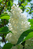 Branch of white lilac Stock Photography
