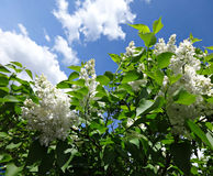 Branch of white lilac on background of blue sky Royalty Free Stock Photography