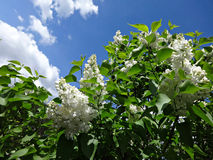 Branch of white lilac on background of blue sky Stock Photos
