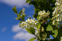 Branch of white lilac Royalty Free Stock Photography