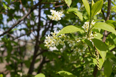 Branch of white lilac Stock Photo