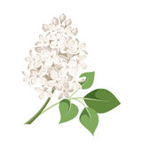 Branch of white lilac flowers. Vector illustration. Stock Photos