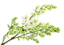 Branch of white lilac without leaf Stock Photo