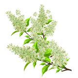 Branch of white lilac with leaves isolated. On white Stock Image