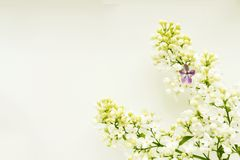 A branch of white lilac on a light background, with one lilac five-leafed stock images