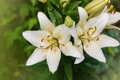 Branch of white lily close up. White lily  flowers field background Stock Photo