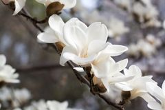 Branch with white magnolia stock image