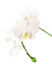 Branch of a white orchid Royalty Free Stock Photo