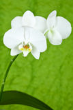 Branch of white orchid Royalty Free Stock Image