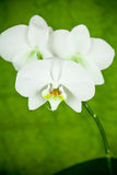 Branch of white orchid Stock Image