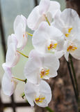 Branch of white orchid Royalty Free Stock Photo
