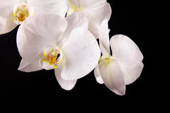 Branch white orchid. And black background Royalty Free Stock Images