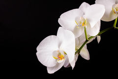 Branch white orchid. And black background Stock Images