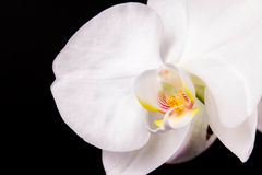 Branch white orchid. And black background Stock Photography