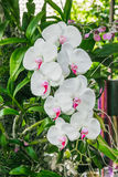 Branch of white orchid Stock Images