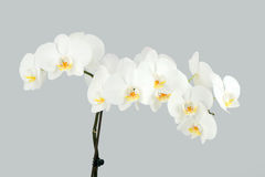 Branch of white orchid on grey background Stock Photo
