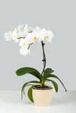 Branch of white orchid on grey background Royalty Free Stock Photos