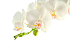 Branch of white orchid on white. Background Royalty Free Stock Photo